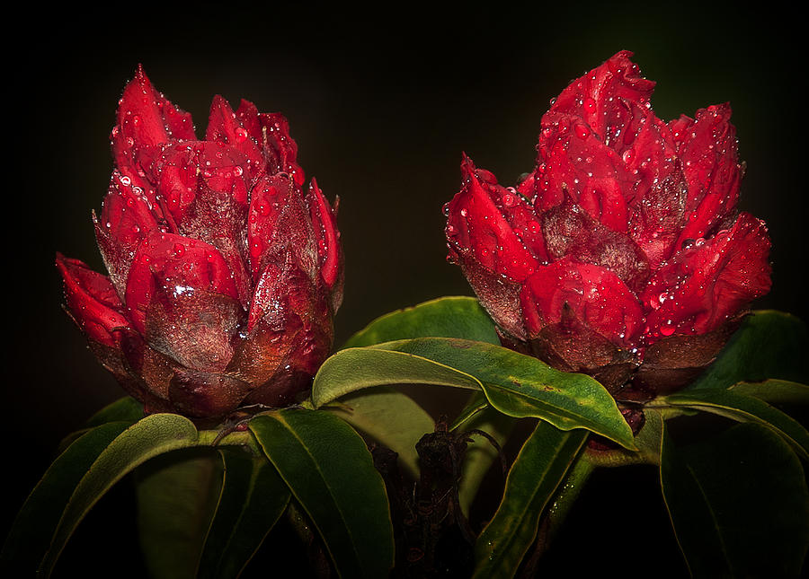 Anniversary Photograph - Rhododendron by Svetlana Sewell