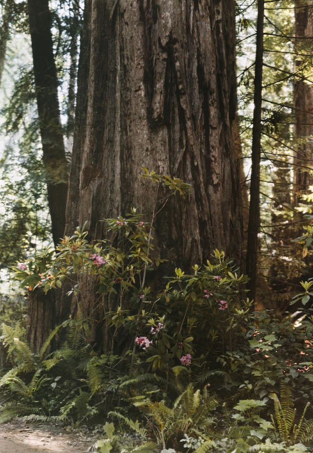 Day Photograph - Rhododendrons Bloom Around The Trunk by Charles Martin