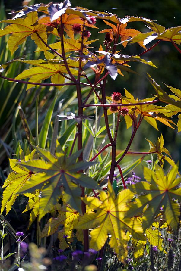 Ricinus Communis Gibsonii Photograph - Ricinus Communis gibsonii by Dr Keith Wheeler