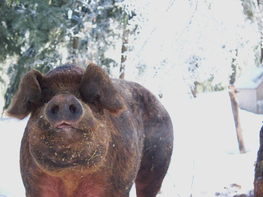 Pigs Photograph - Ricky by Samantha Howell
