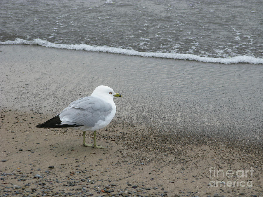 Ring-billed Gull Photograph - Ring-billed Gull by Ann Horn