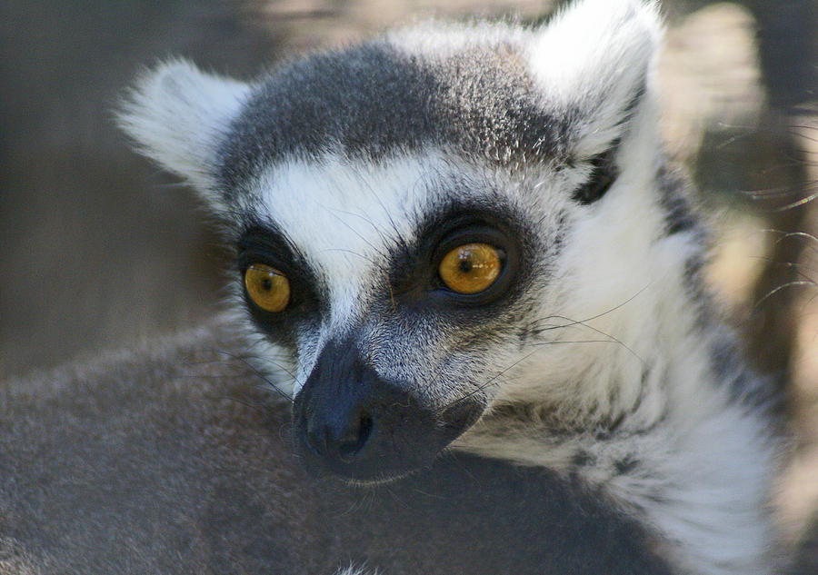 Ringtailed Lemur Photograph - Ringtailed Lemur 2 by Dave Poppe