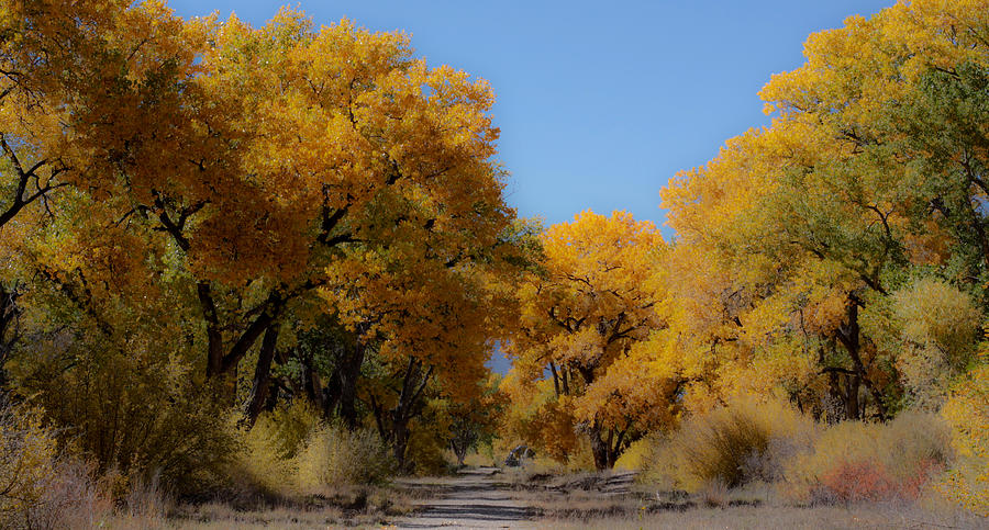 New Mexico Photograph - Rio Grande Cottonwoods by Denice Breaux