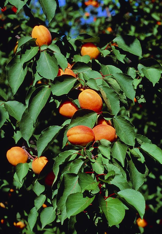 Apricot Photograph - Ripe Apricots Growing On A Branch by Kaj R. Svensson