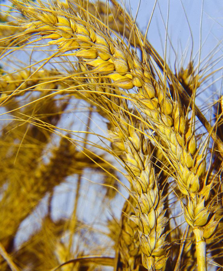 Barley Photograph - Ripe Barley by Daniel Blatt