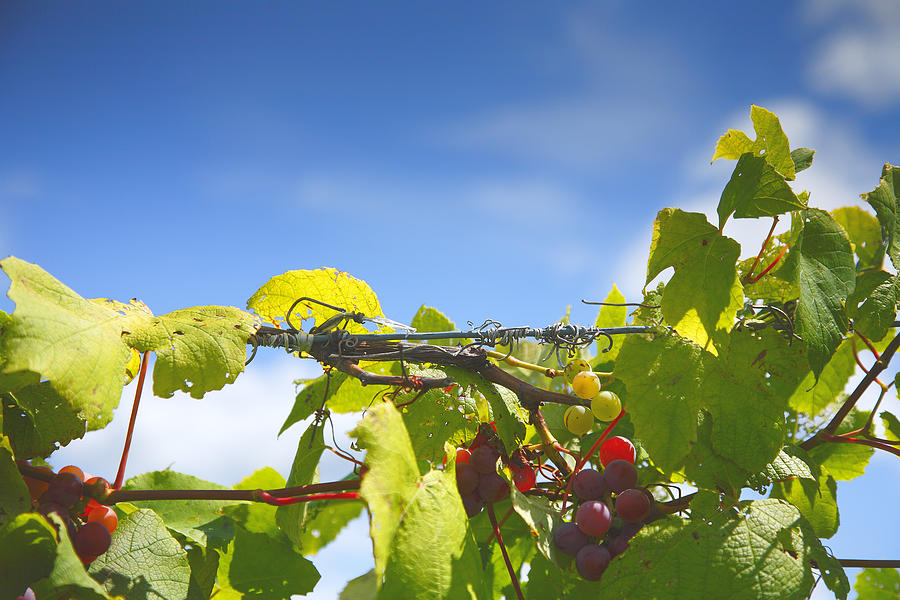 Vineyard Photograph - Ripening On The Vines by Steven Ainsworth