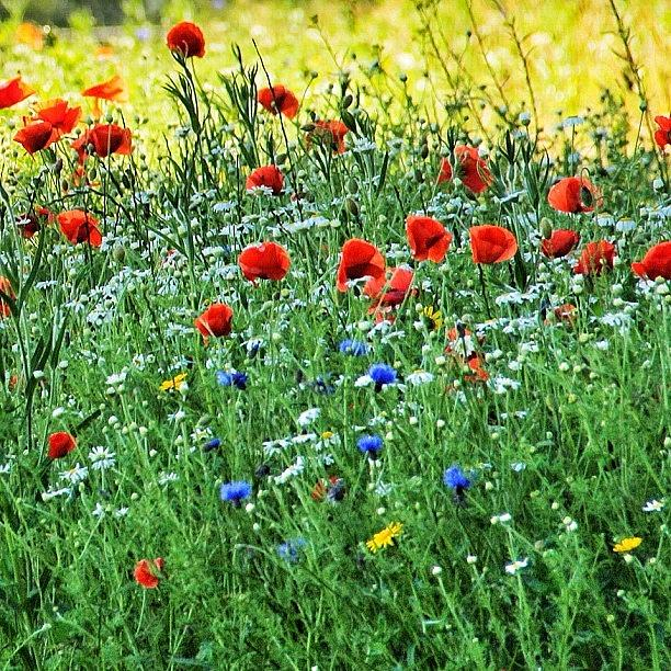 Love Photograph - Roadside Poppies & Wildflowers At The by Carl Milner