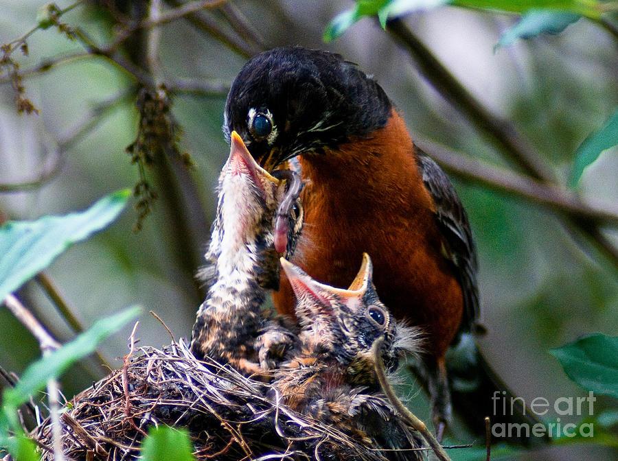Robin Photograph - Robin Feeding Young 1 by Terry Elniski