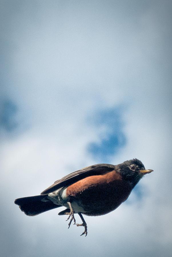 Robin Photograph - Robin by Jason Heckman