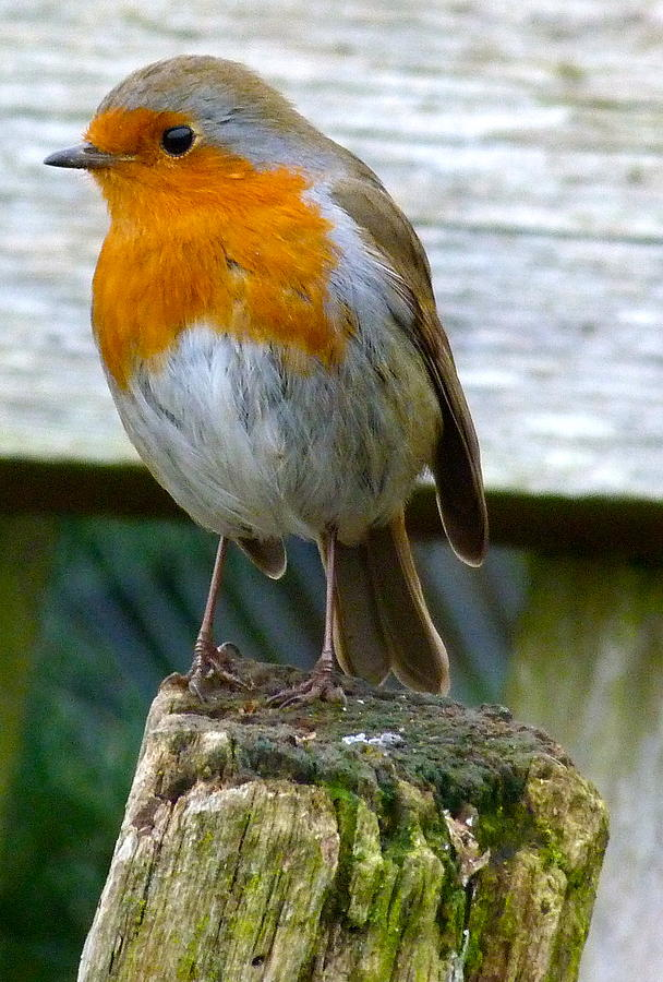 Bird Photograph - Robin by Karen Grist