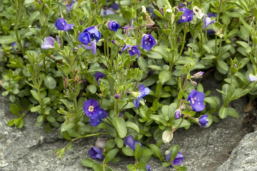 Flower Photograph - Rock Speedwell (veronica Fruticans) by Bob Gibbons