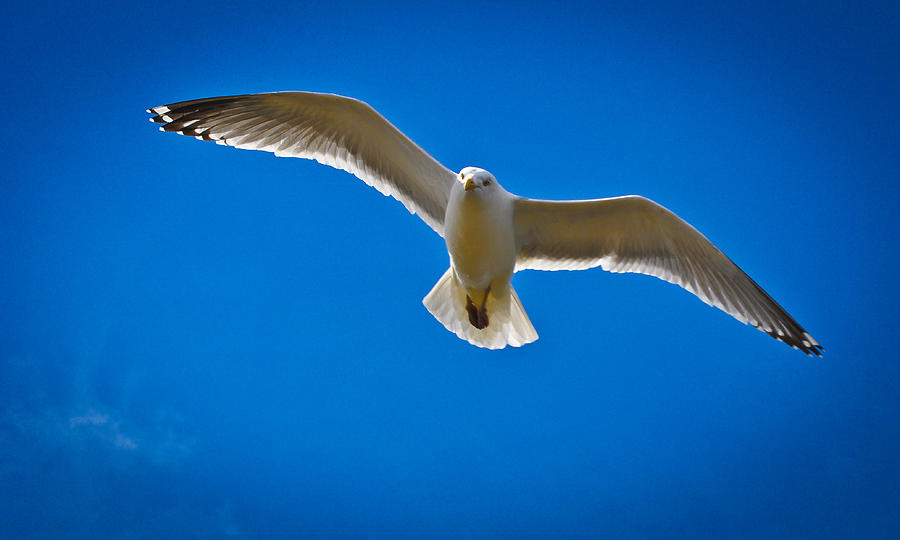 Sea Gulls Photograph - Rockport Gull by Erica McLellan