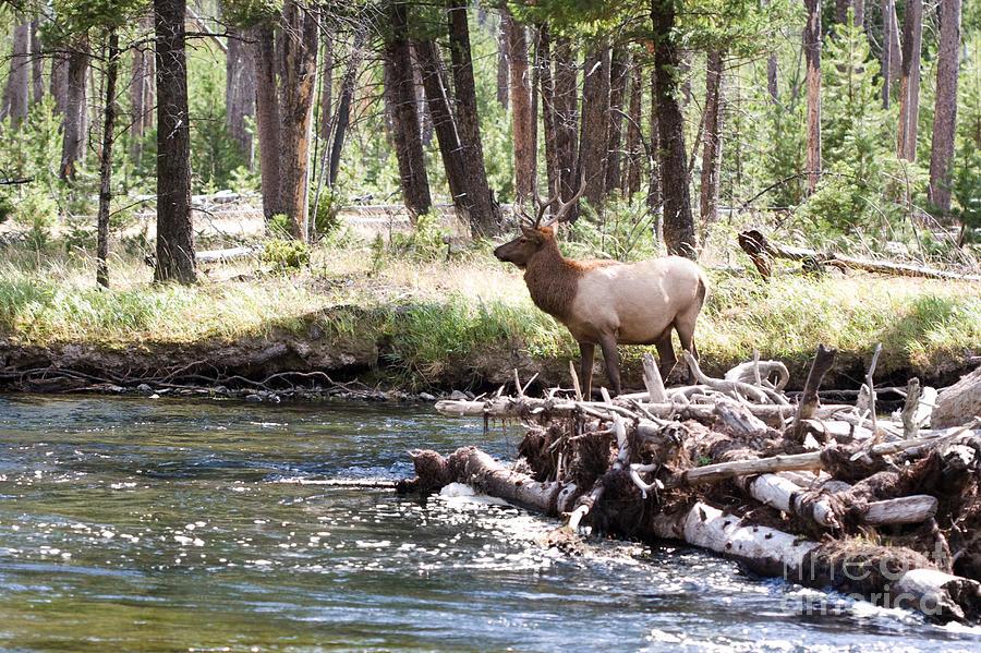 Elk Photograph - Rocky Mountain Elk by Cindy Singleton