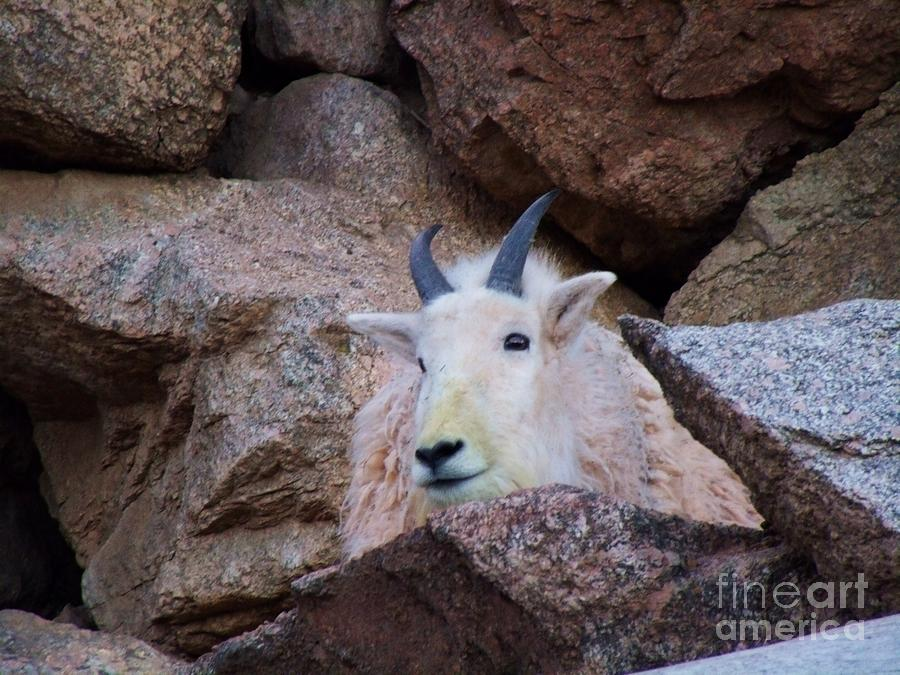 Rocky Mountain Goat Photograph - Rocky Mountain Goat by Donna Parlow