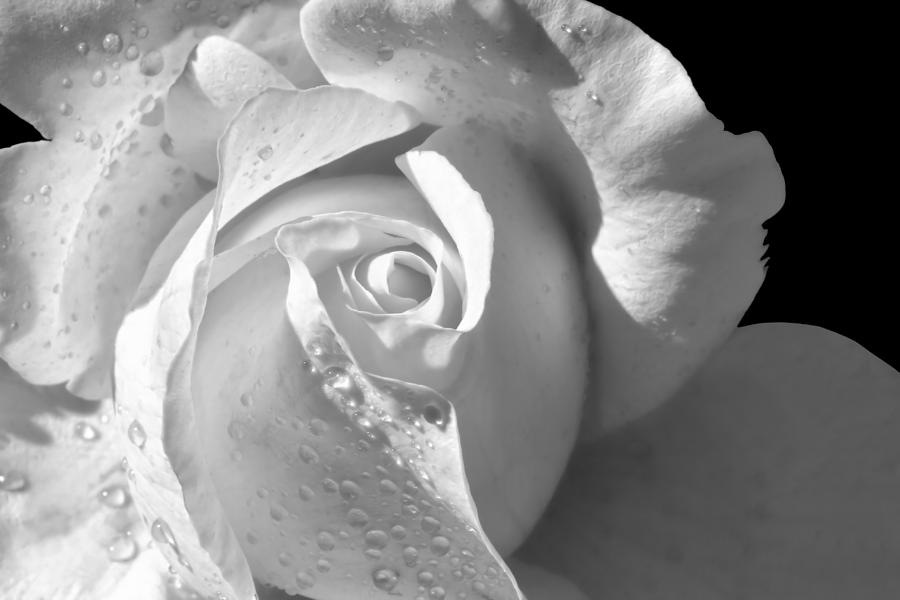 Rose Photograph - Romantic White Bridal Rose by Tracie Kaska