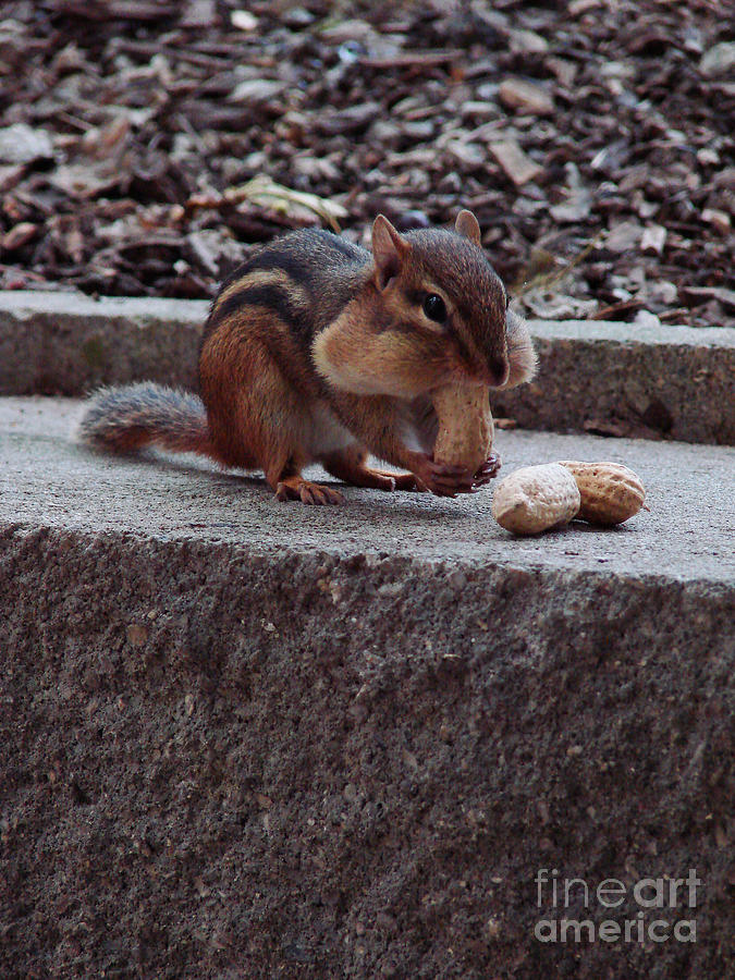 Chipmunk Photograph - Room For One More by Mark Holbrook
