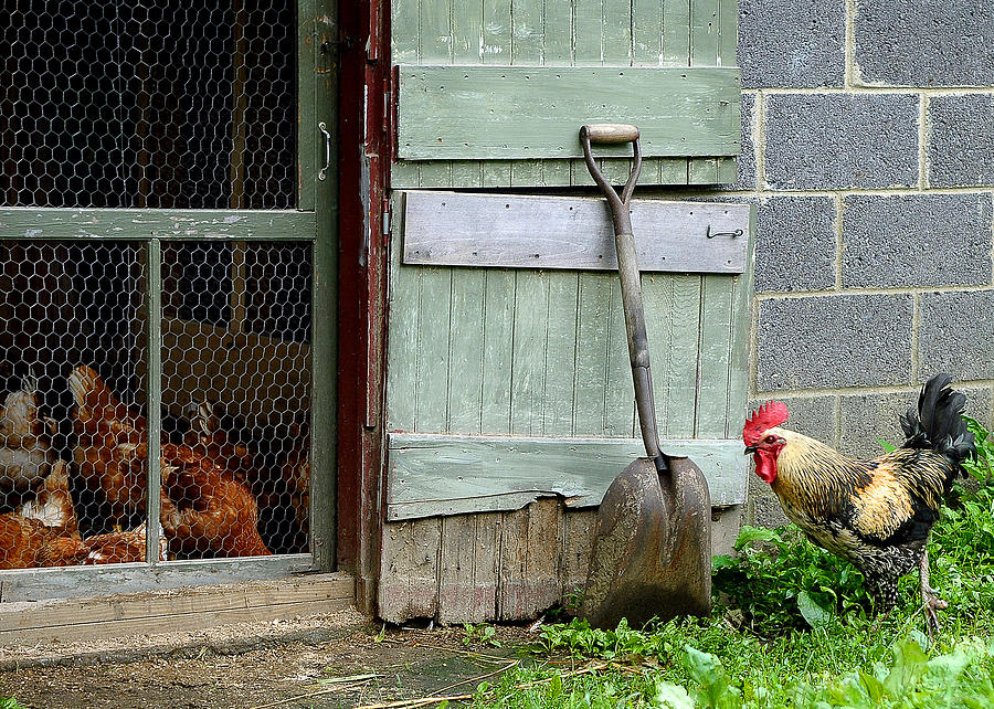 Animal Photograph - Rooster And Hens by Lisa Phillips