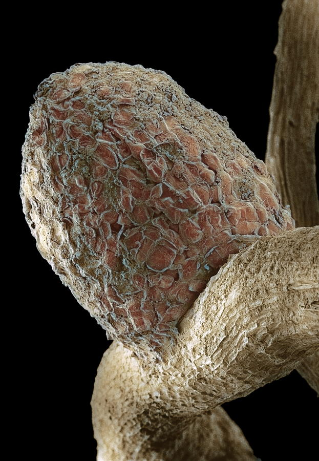 White Clover Photograph - Root Nodule by Dr Jeremy Burgess