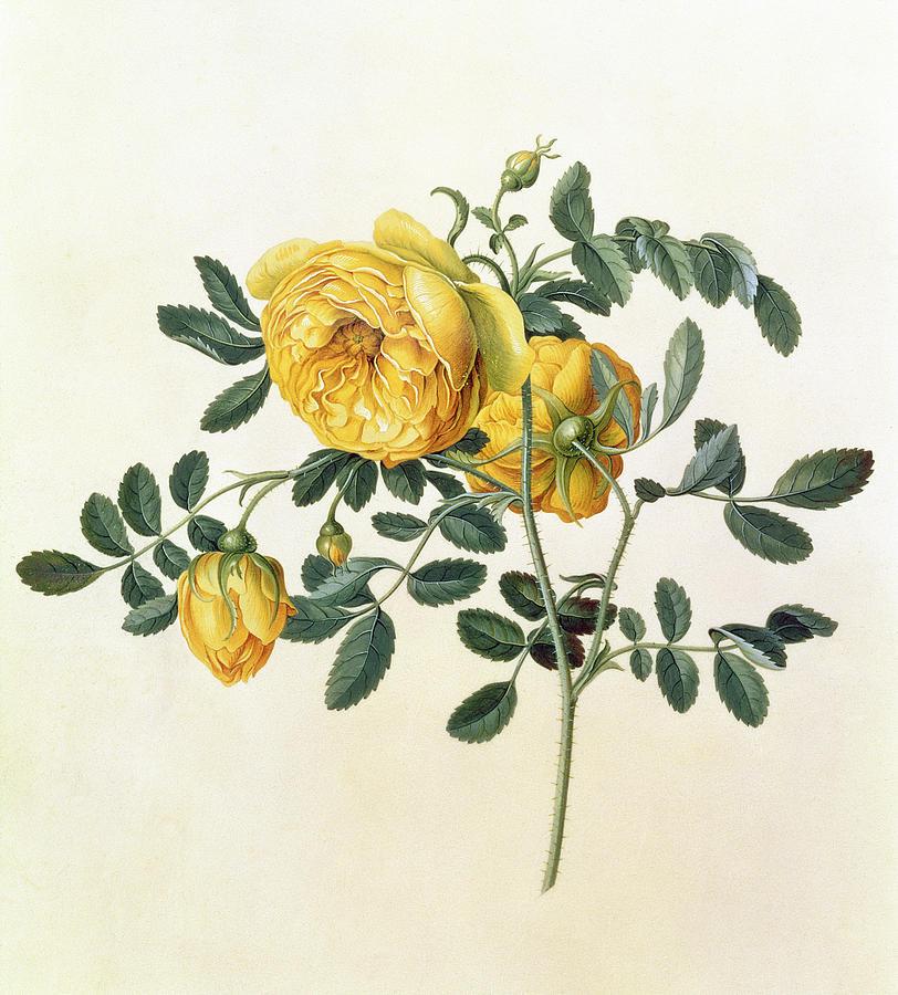 Crt; Rose Painting - Rosa Hemispherica by Georg Dionysius Ehret