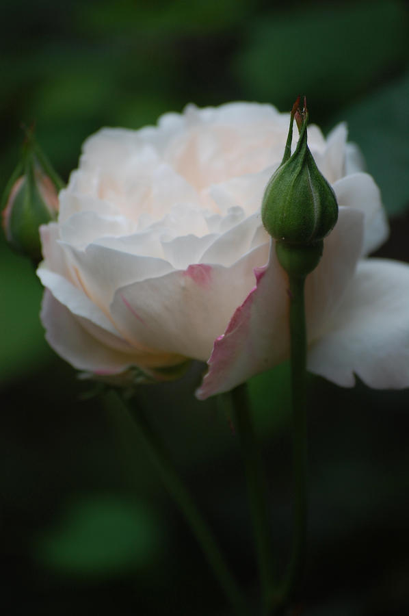 Pure Photograph - Rose - White by Dickon Thompson