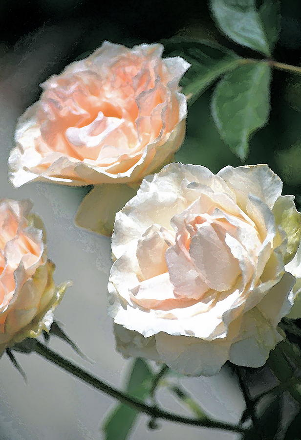 Floral Photograph - Rose 125 by Pamela Cooper