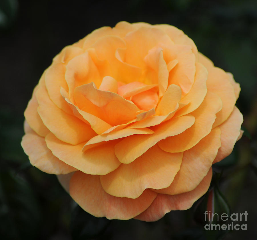 Orange Photograph - Rose 3 by Vivian Christopher