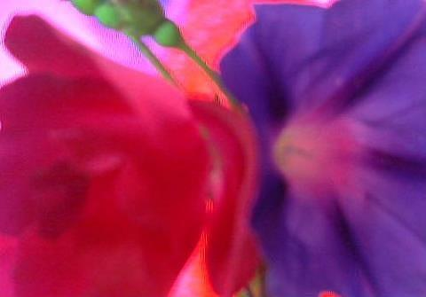 Flowers Painting - Rose And Morning Glory  by Shane Miller