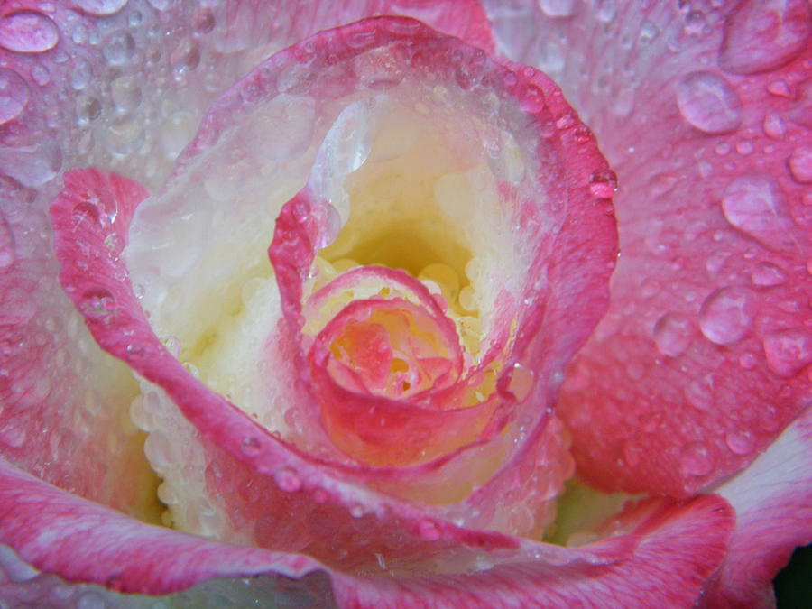 Rose Photograph - Rose Awakens To A Rain Storm by Mary Sedivy