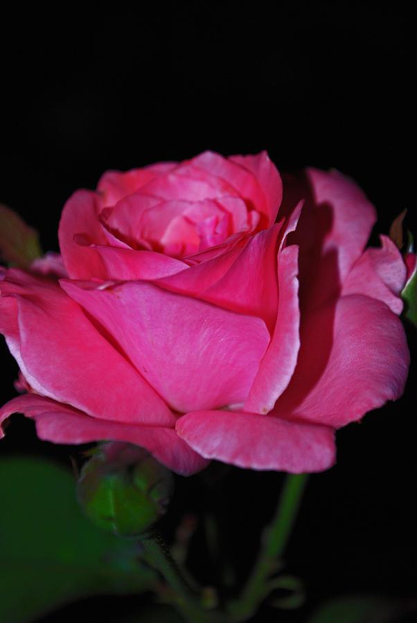 Floral Photograph - Rose Bud Romance by Michelle Cruz