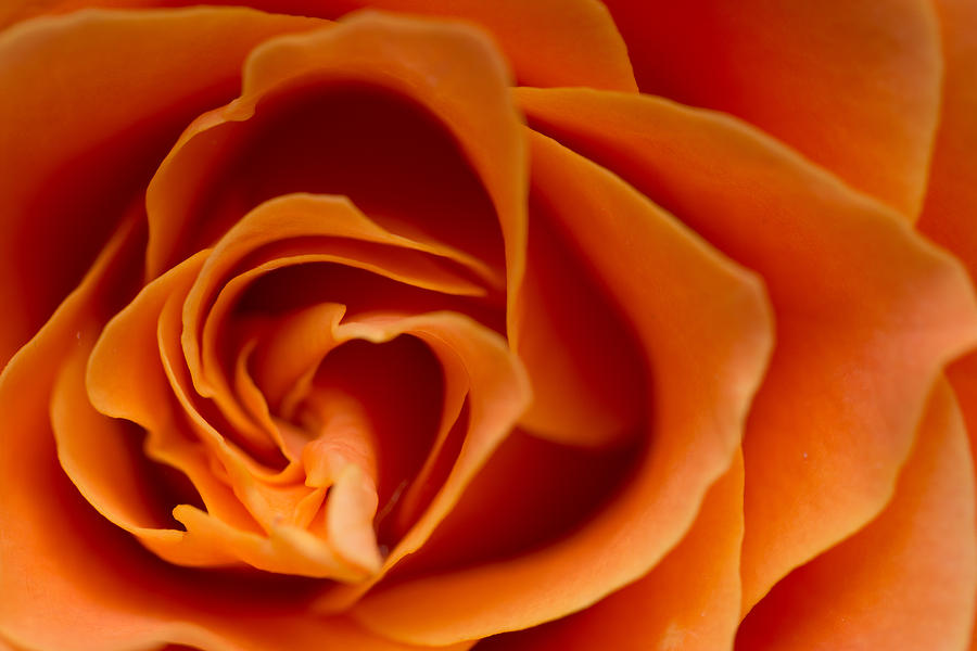 Macro Photograph - Rose by Daniel Kulinski