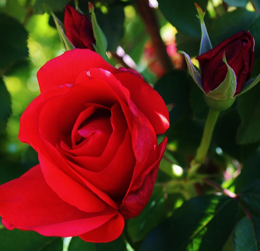 Flora Photograph - Rose Delight by Bruce Bley
