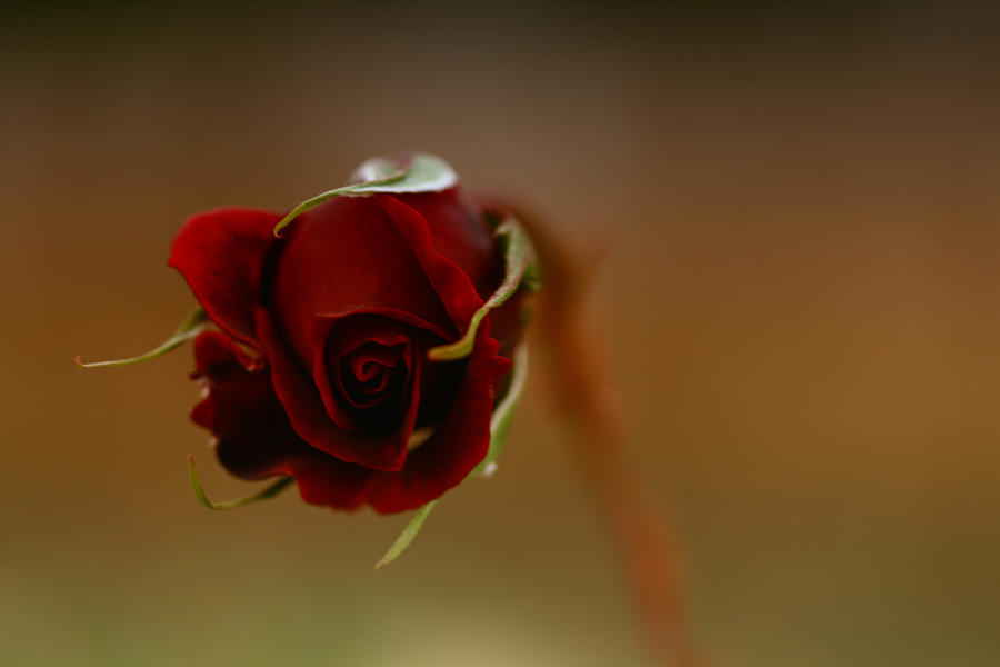 Rose Photograph - Rose Dream by Gabriel Calahorra