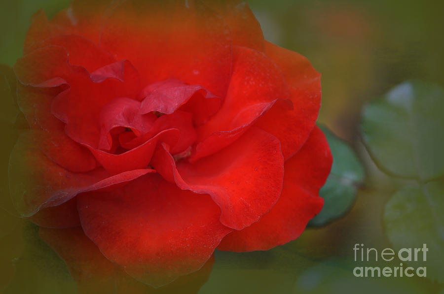 Red Photograph - Rose Dream by Mary Machare