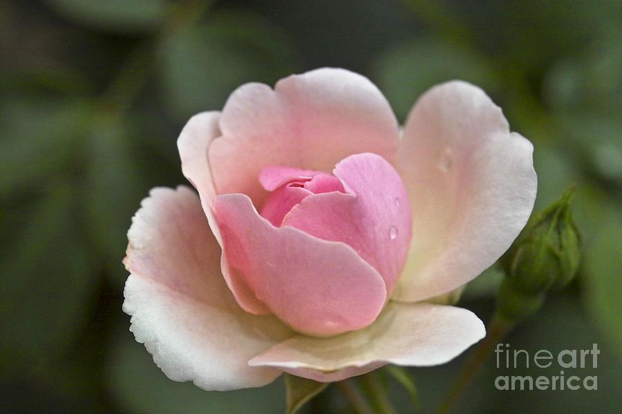 Rose Photograph - Rose Flower Series 12 by Heiko Koehrer-Wagner