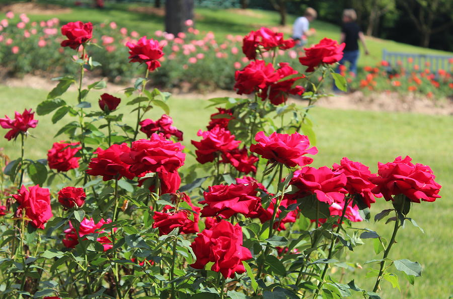 Rose Photograph - Rose Garden by Ankita Ghosh