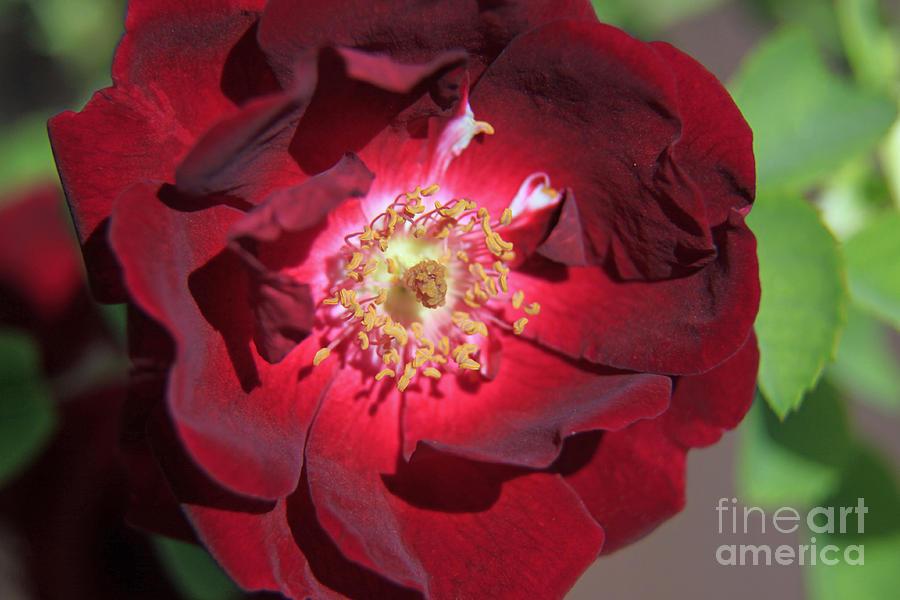 Rose Photograph - Rose Glow by Shawn Naranjo