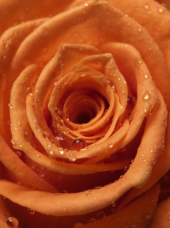 Rose Photograph - Rose by Ignaz Uri
