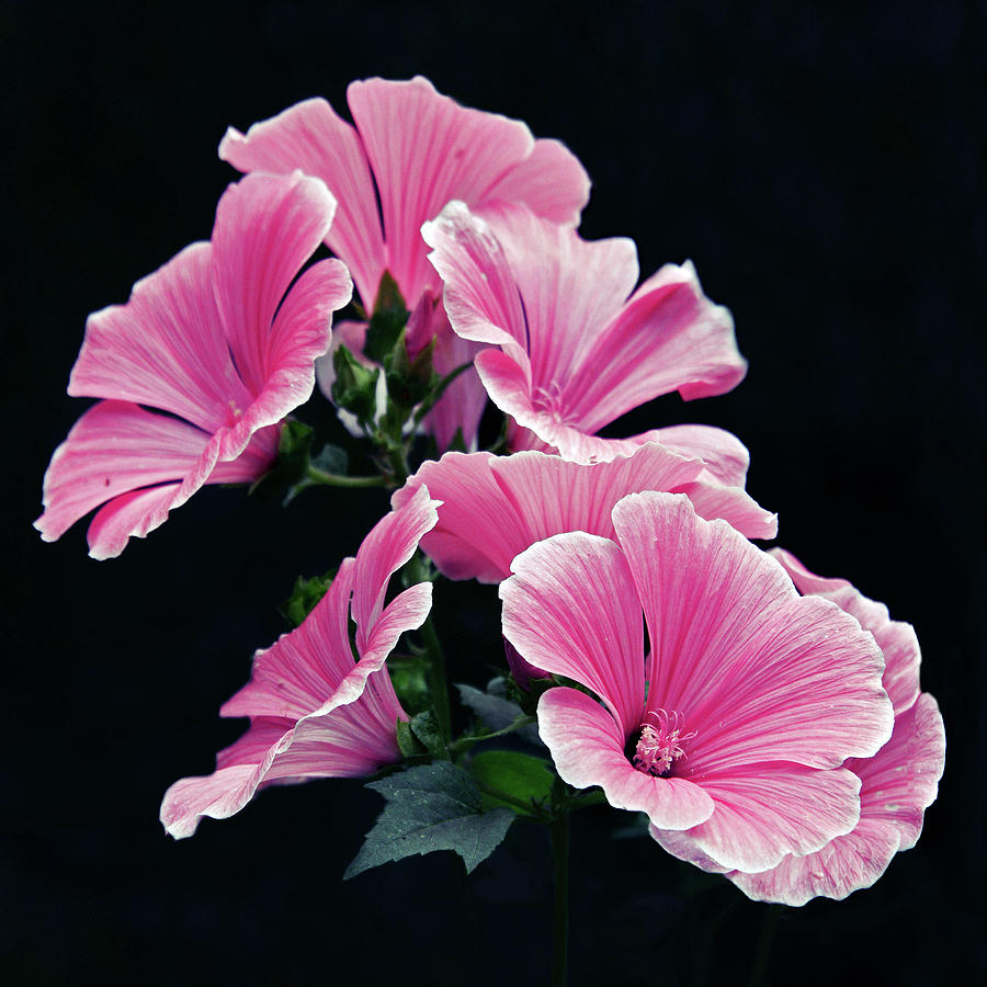 Square Photograph - Rose Mallow by Tanjica Perovic Photography