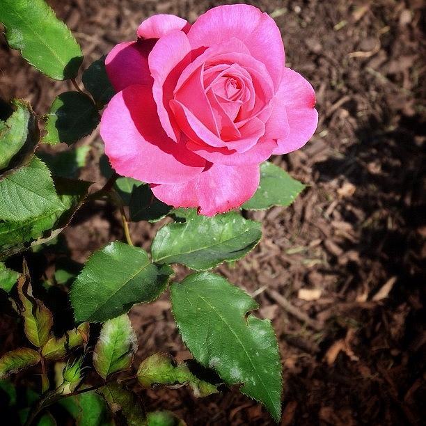 Flower Photograph - Rose by Natasha Marco