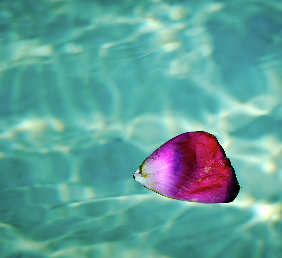 Horizontal Photograph - Rose Petal Floating On Water by Gerard Plauche