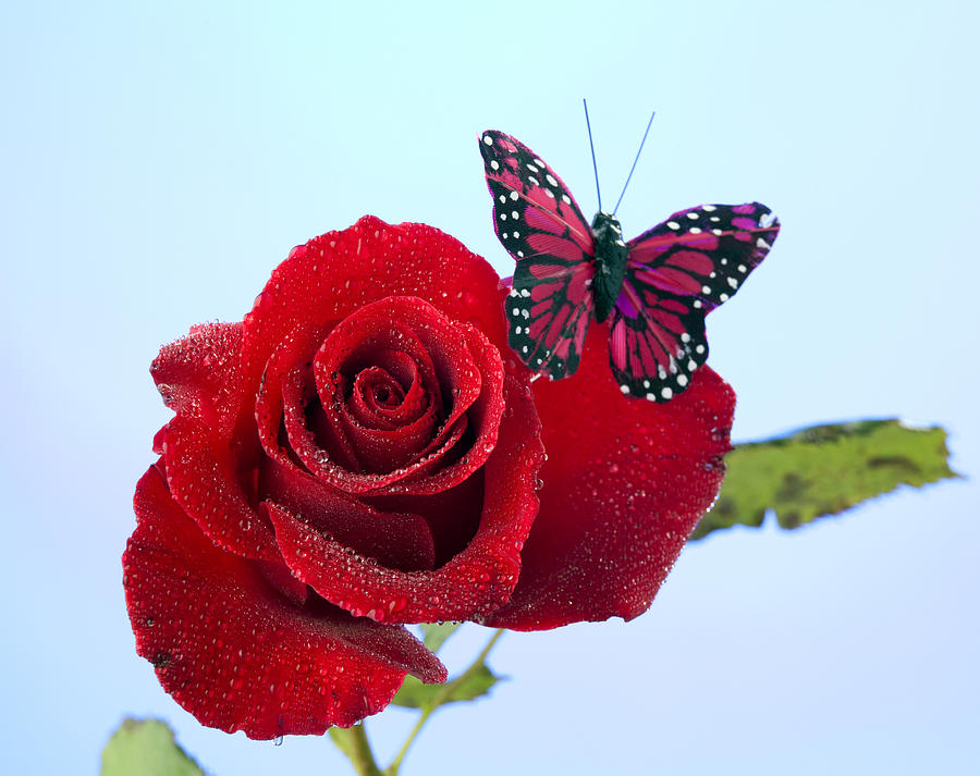 Rose Photograph - Rose Red Butterfly Isolated On Blue by M K  Miller