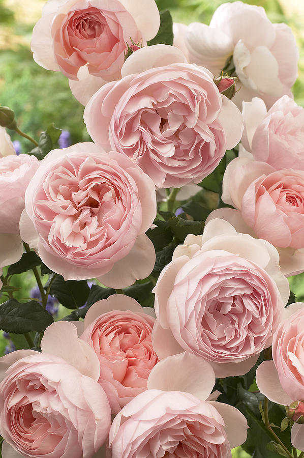 Rose Rosa Sp Heritage Variety Flowers Photograph by VisionsPictures