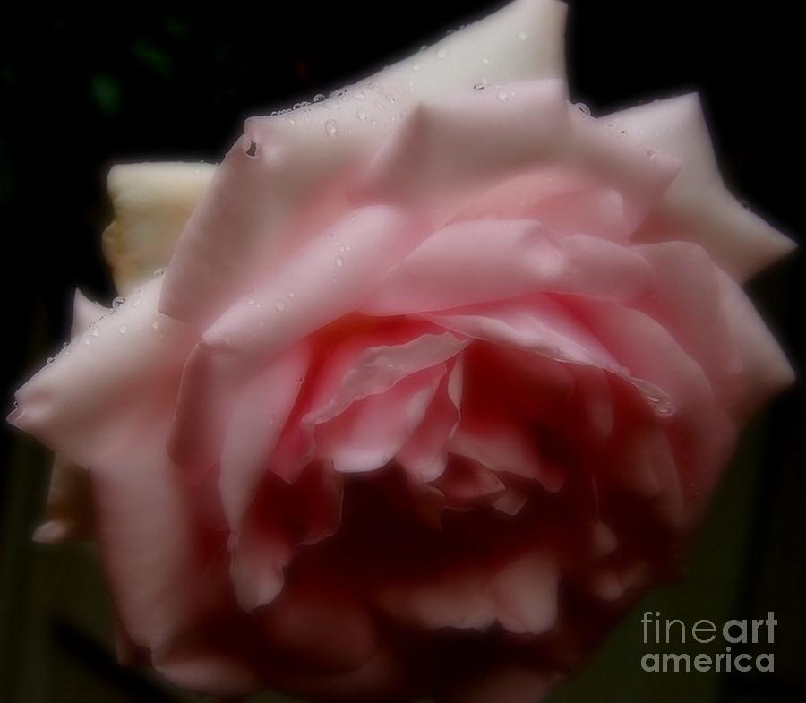 Rose Photograph - Rose by Sylvie Leandre