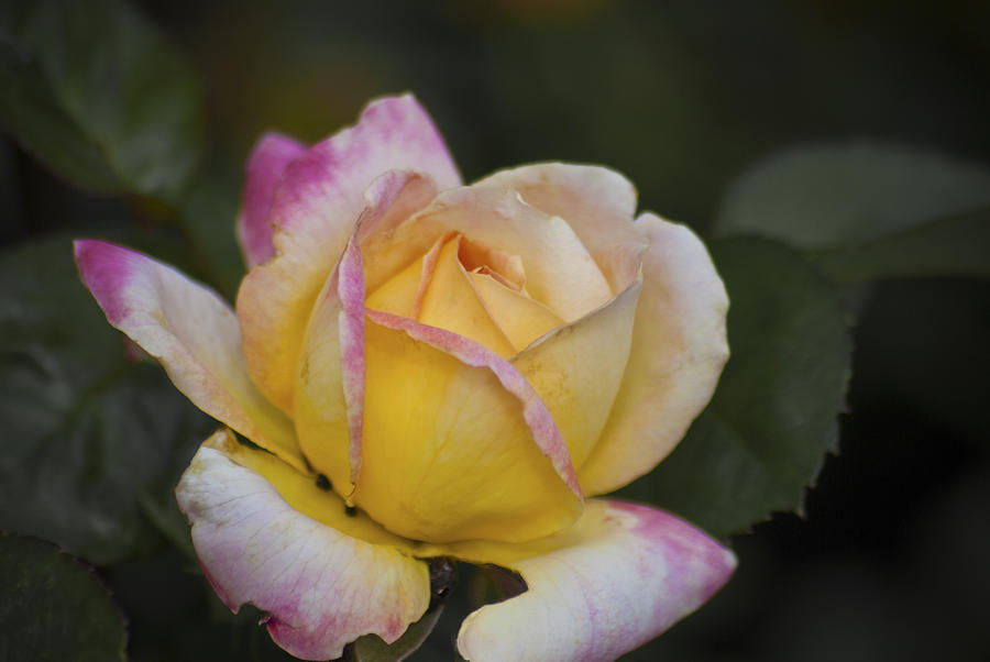 Rose with Pink Tips by Jason Pryor