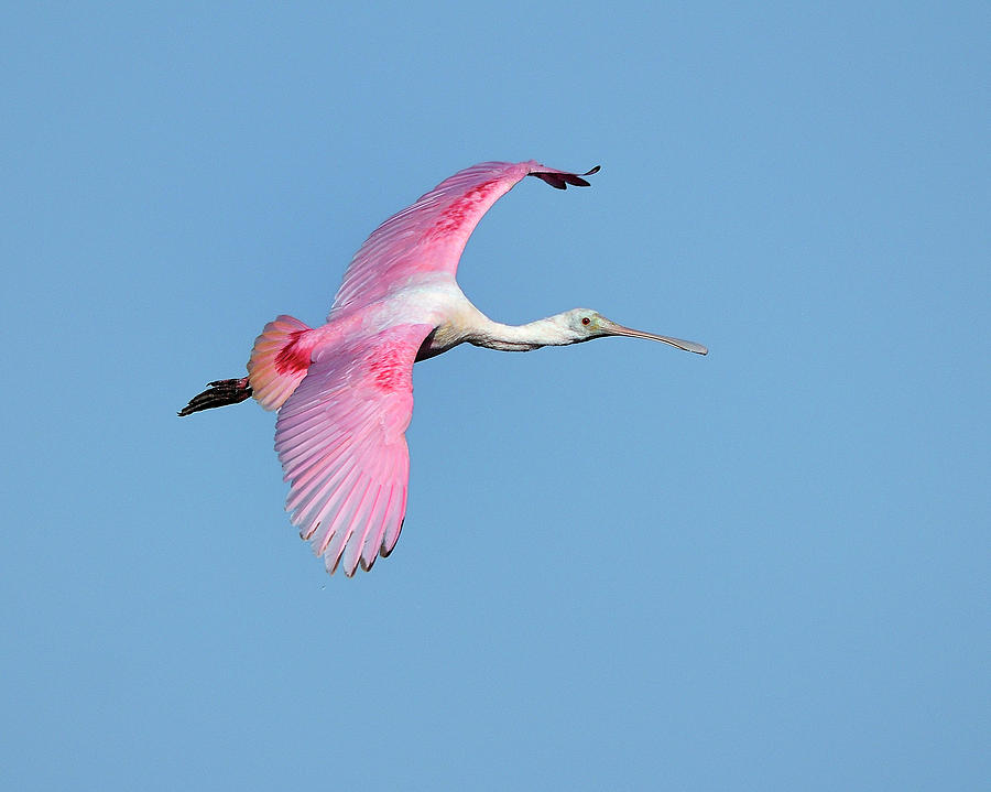 Roseate Spoonbill Photograph - Roseate Spoonbill Inflight by Bill Dodsworth