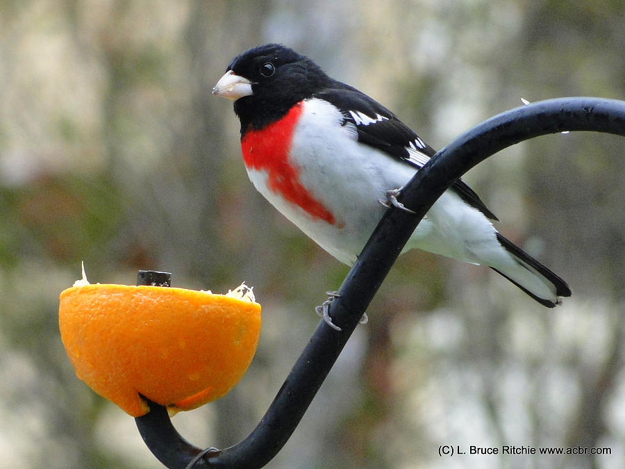 Rosebreasted Grossbeak eating Orange by Bruce Ritchie