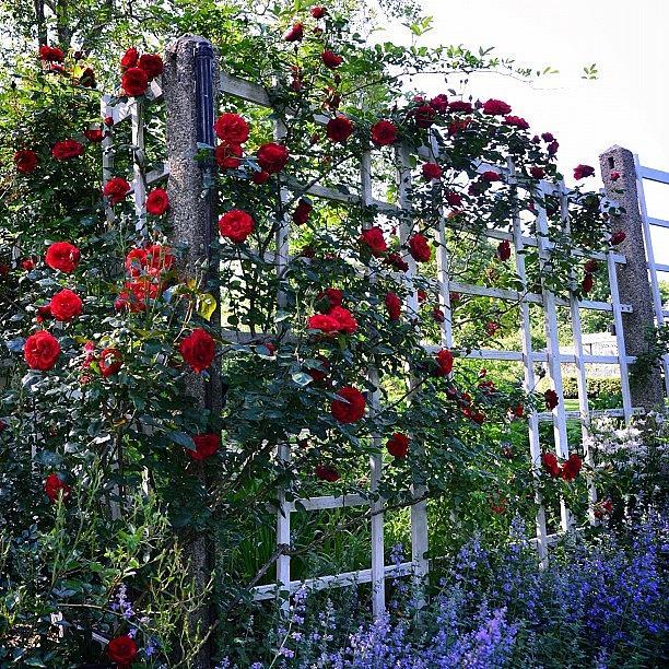 Roses Photograph - Roses & Lilacs by Natasha Marco