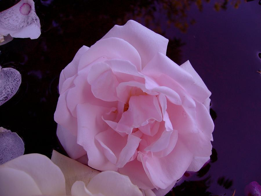 Pink Photograph - Roses And Reflection by Susan Johansen