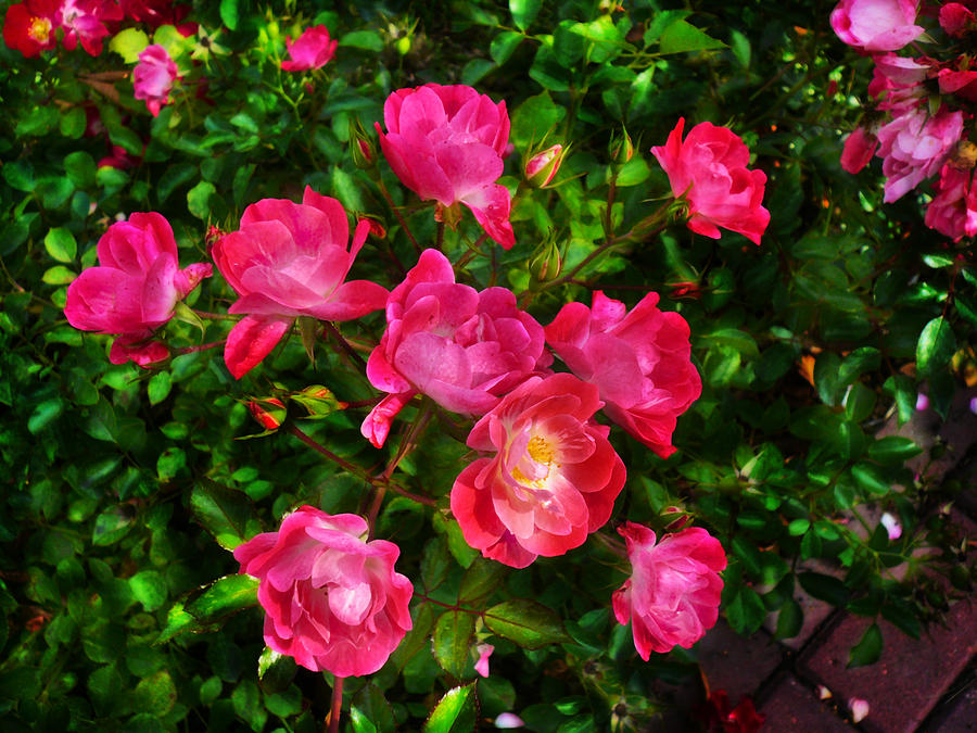 Rose Photograph - Roses Bush by Aleksandr Volkov