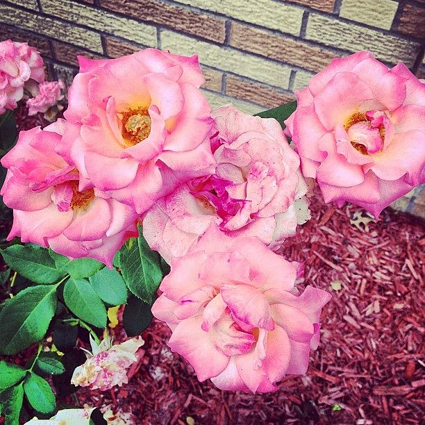 Roses Photograph - #roses by Melissa Wyatt